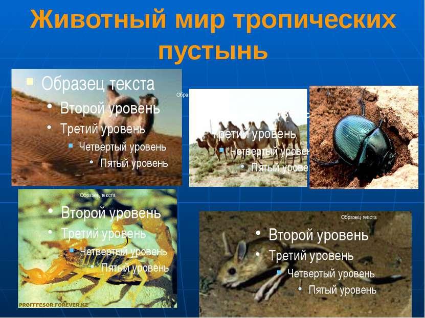 Животный мир тропических пустынь 1,2. Верблюды 3.Жук-скарабей 4.Скорпион 5. Т...
