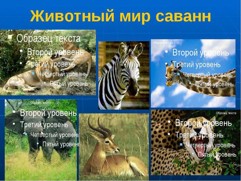 Животный мир саванн 1.Львы 2.Зебра 3.Жираф 4.Слон 5.Антилопа 6. Гепард