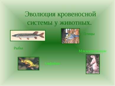 Эволюция кровеносной системы у животных. Рыбы Амфибии Птицы Млекопитающие