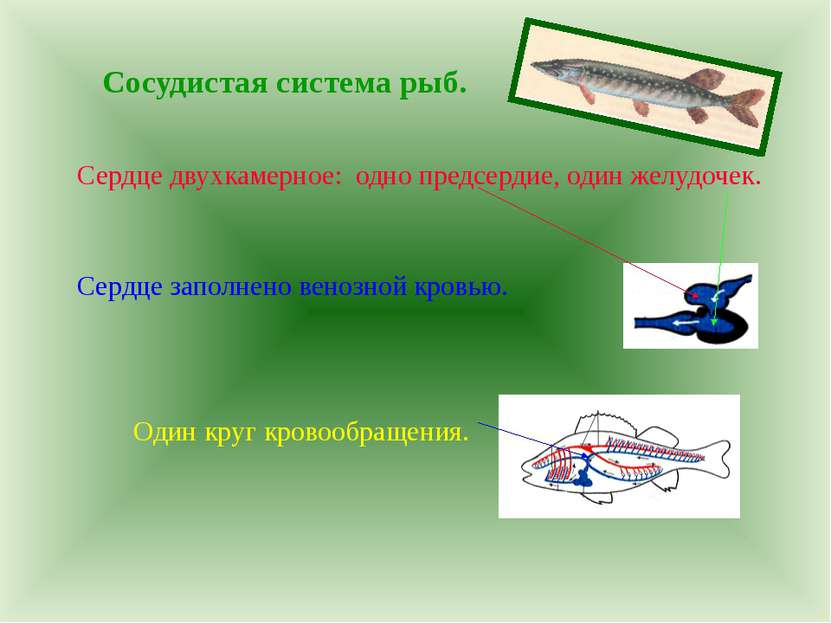 Сосудистая система рыб. Сердце двухкамерное: одно предсердие, один желудочек....