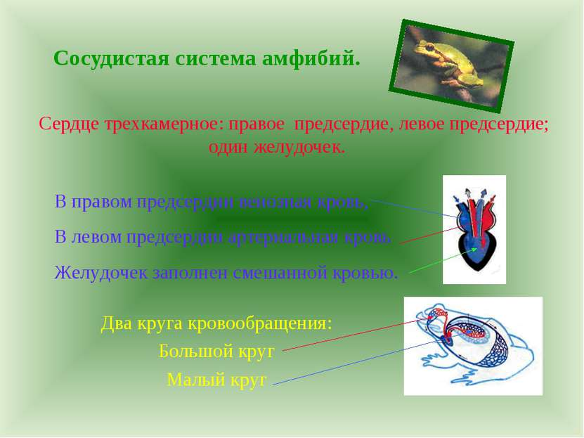 Сосудистая система амфибий. Сердце трехкамерное: правое предсердие, левое пре...