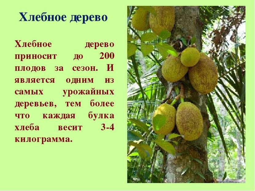 Хлебное дерево Хлебное дерево приносит до 200 плодов за сезон. И является одн...