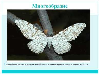 Многообразие Крупнейшая в мире по размаху крыльев бабочка — тизания агриппина...