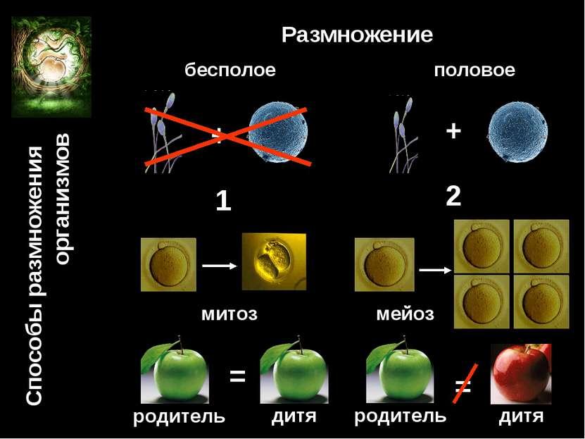Размножение бесполое половое + + 1 2 мейоз митоз родитель родитель дитя дитя ...