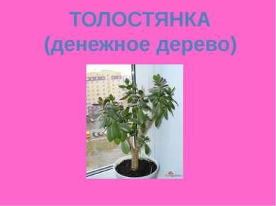 ТОЛОСТЯНКА (денежное дерево)