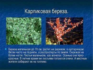 Карликовая береза. Береза маленькая до 70 см, растет не деревом, а кустарнико...