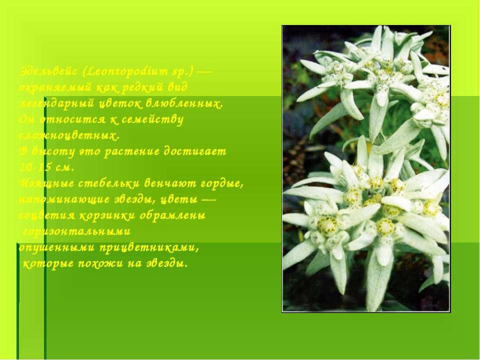 Эдельвейс (Leontopodium sp.) — охраняемый как редкий вид легендарный цветок в...