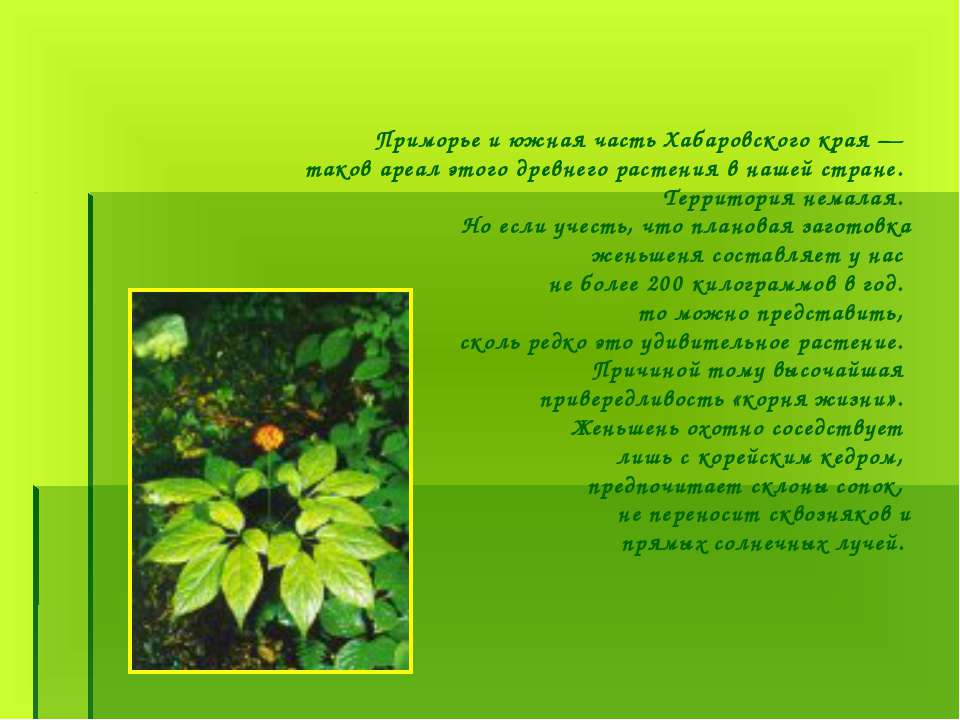 Приморье и южная часть Хабаровского края — таков ареал этого древнего растени...