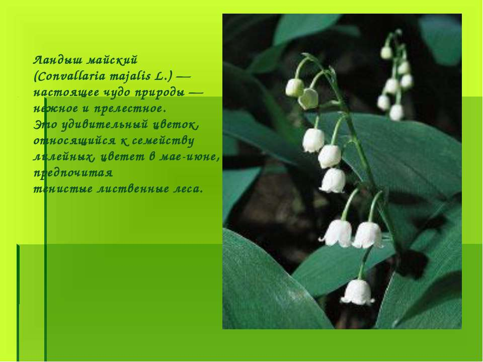 Ландыш майский (Convallaria majalis L.) — настоящее чудо природы — нежное и п...