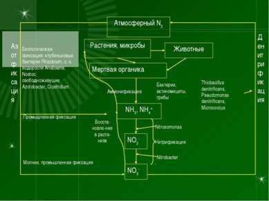 Атмосферный N2 NO3- NO2- NH3, NH4+ Растения, микробы Животные Мертвая органик...