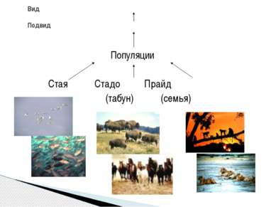 Популяции Стая Стадо Прайд (табун) (семья) Вид Подвид