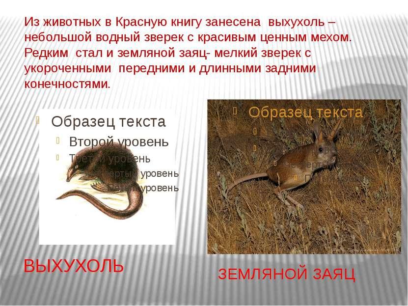 Из животных в Красную книгу занесена выхухоль – небольшой водный зверек с кра...