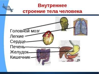 Внутреннее строение тела человека Головной мозг Легкие Сердце Печень Желудок ...
