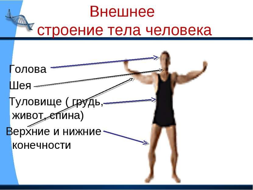 Внешнее строение тела человека Голова Шея Туловище ( грудь, живот, спина) Вер...