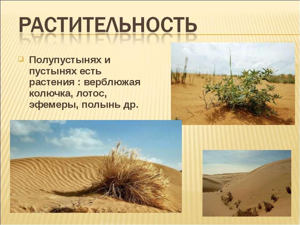 Полупустынях и пустынях есть растения : верблюжая колючка, лотос, эфемеры, по...