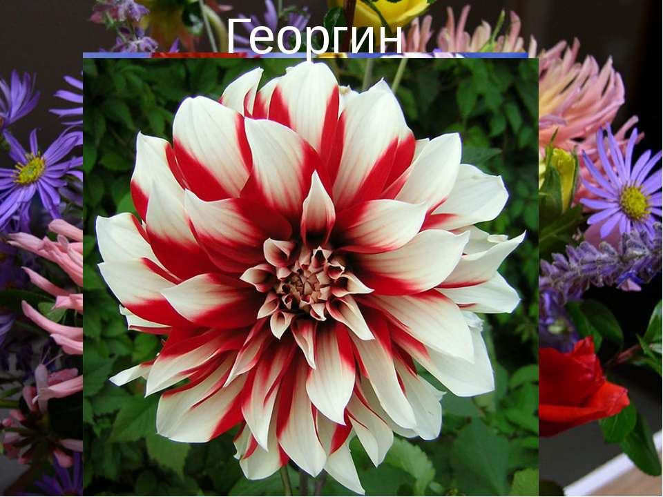 Георгины Георгин