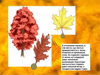 В основании черешка, в том месте, где листья прикрепляются к ветке, появляетс...
