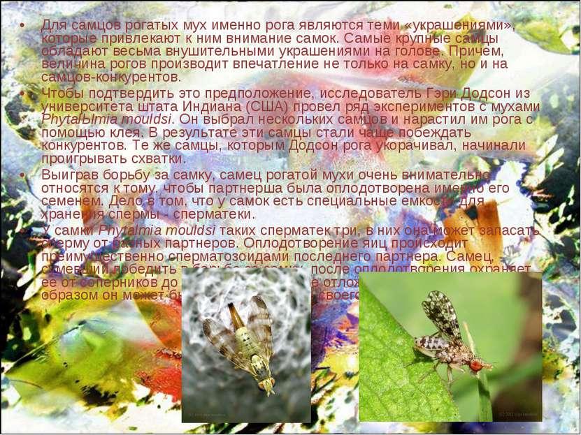 Для самцов рогатых мух именно рога являются теми «украшениями», которые привл...