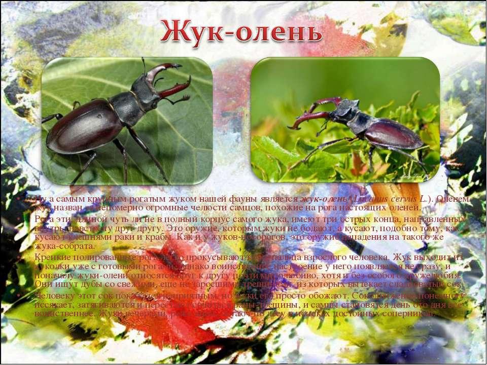 Ну а самым крупным рогатым жуком нашей фауны является жук-олень (Lucanus cerv...