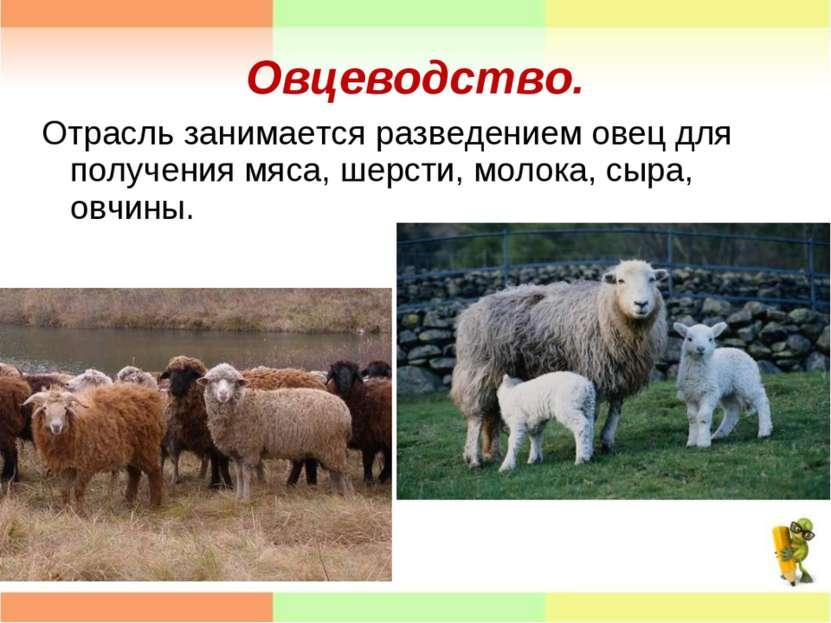 Овцеводство. Отрасль занимается разведением овец для получения мяса, шерсти, ...
