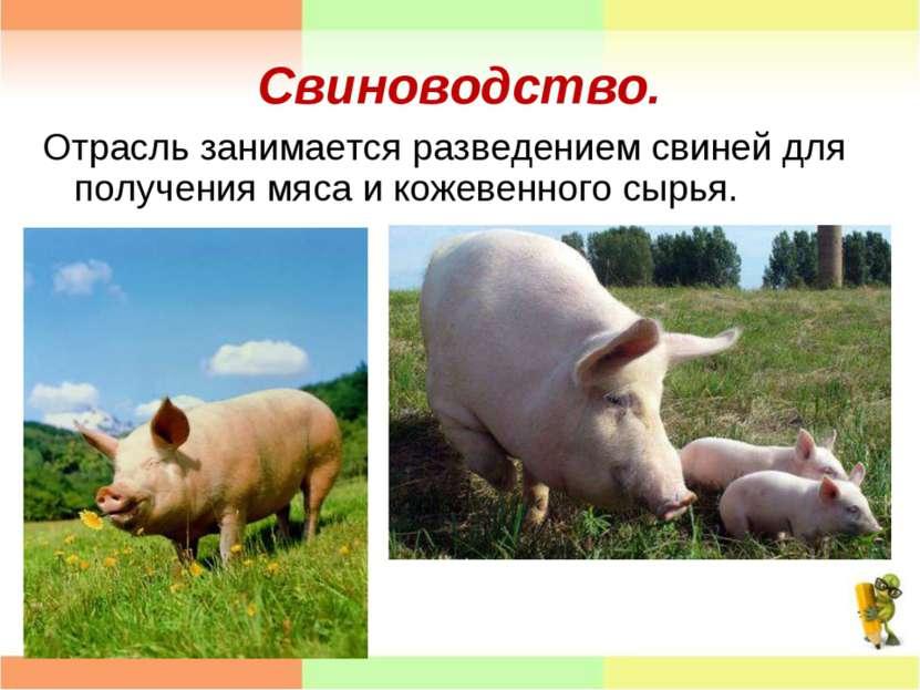 Свиноводство. Отрасль занимается разведением свиней для получения мяса и коже...