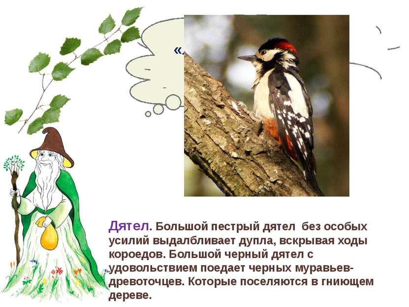 Кого называют «лесным доктором» или «санитаром леса»? Дятел. Большой пестрый ...