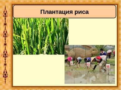 Плантация риса