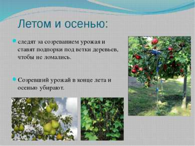 Летом и осенью: следят за созреванием урожая и ставят подпорки под ветки дере...