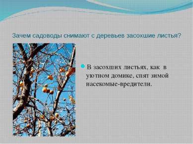 Зачем садоводы снимают с деревьев засохшие листья? В засохших листьях, как в ...