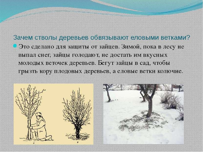 Зачем стволы деревьев обвязывают еловыми ветками? Это сделано для защиты от з...