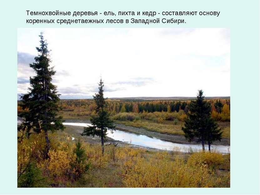 Темнохвойные деревья - ель, пихта и кедр - составляют основу коренных среднет...