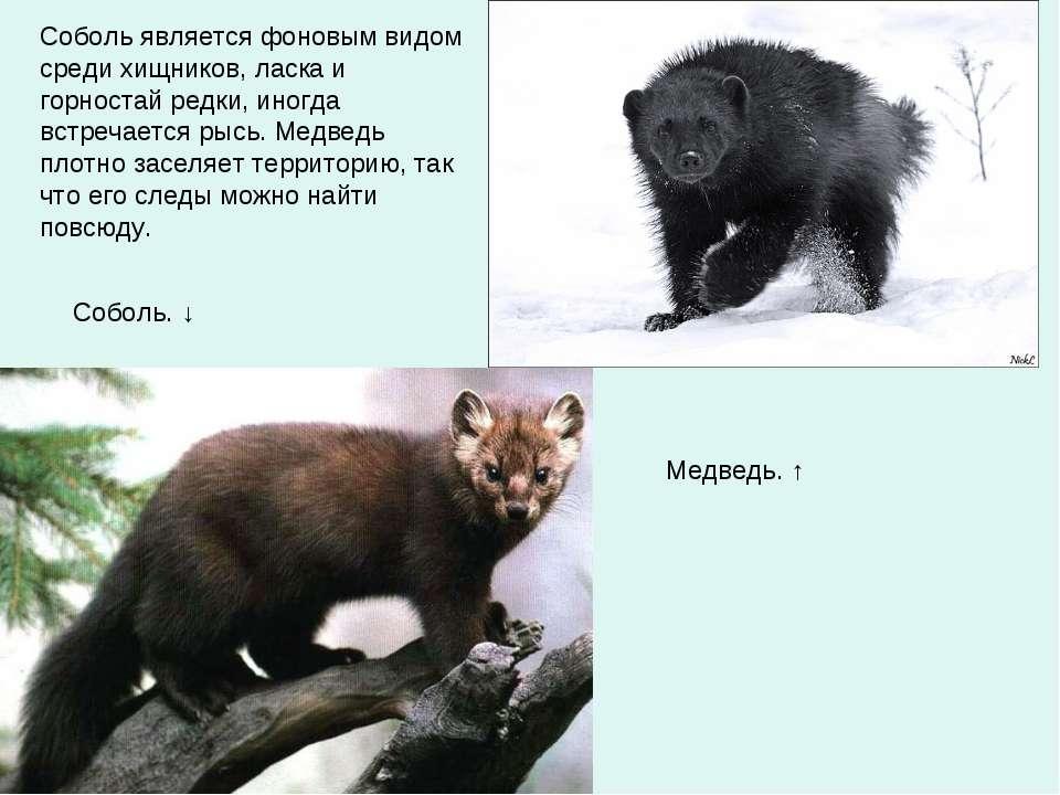 Соболь является фоновым видом среди хищников, ласка и горностай редки, иногда...
