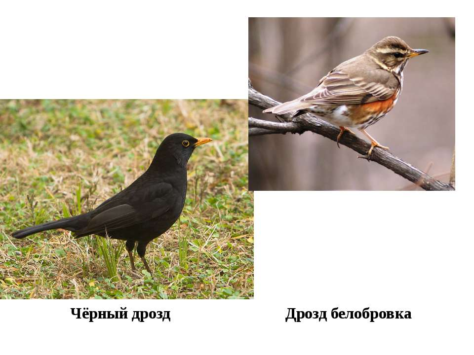 Чёрный дрозд Дрозд белобровка