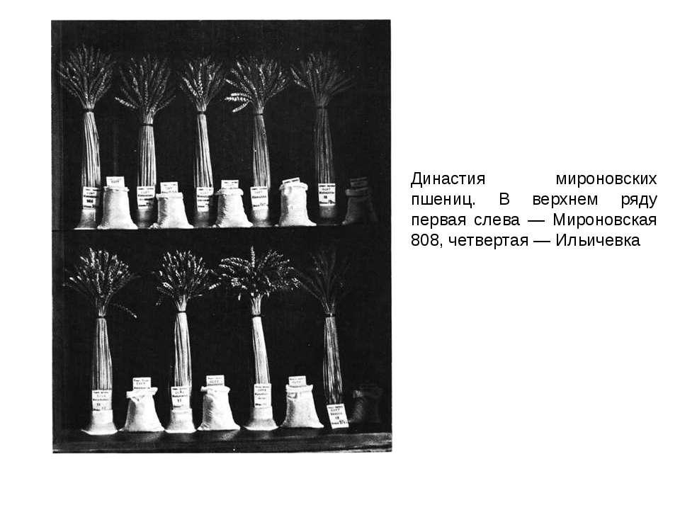 Династия мироновских пшениц. В верхнем ряду первая слева — Мироновская 808, ч...