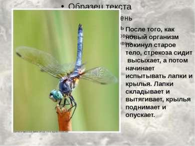 После того, как новый организм покинул старое тело, стрекоза сидит высыхает, ...