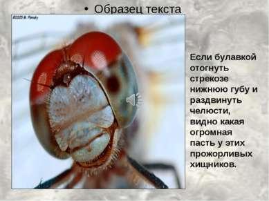 Если булавкой отогнуть стрекозе нижнюю губу и раздвинуть челюсти, видно какая...