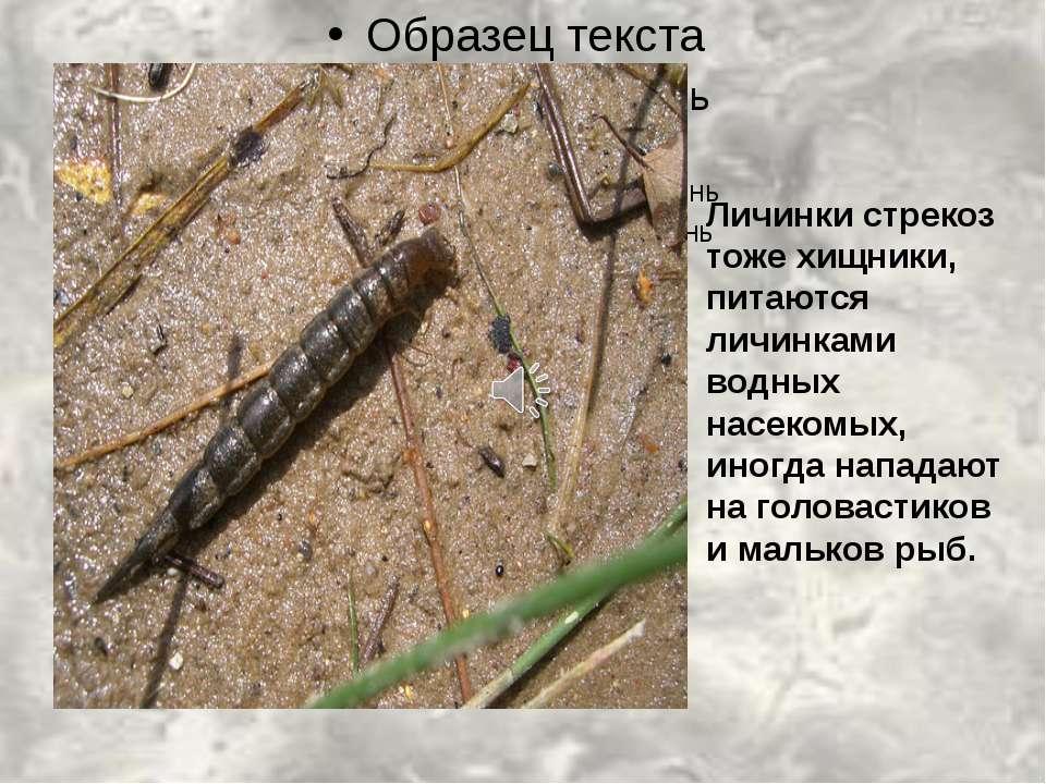 Личинки стрекоз тоже хищники, питаются личинками водных насекомых, иногда нап...