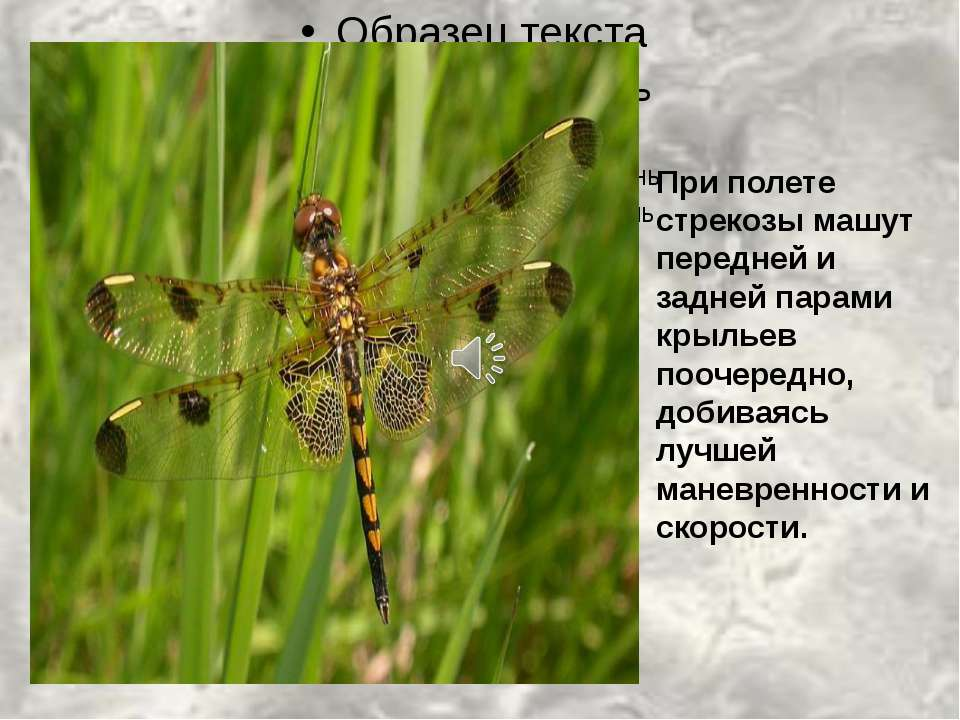 При полете стрекозы машут передней и задней парами крыльев поочередно, добива...