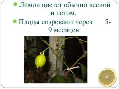 Лимон цветет обычно весной и летом. Плоды созревают через 5-9 месяцев