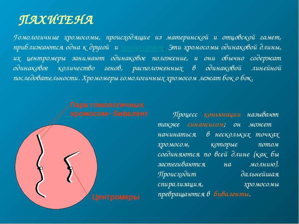 ПАХИТЕНА Пара гомологичных хромосом– бивалент Центромеры Гомологичные хромосо...