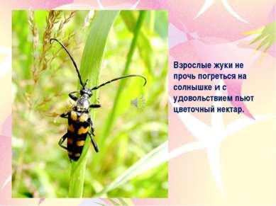 Взрослые жуки не прочь погреться на солнышке и с удовольствием пьют цветочный...