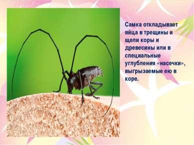 Самка откладывает яйца в трещины и щели коры и древесины или в специальные уг...