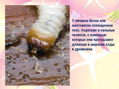 У личинок белое или желтоватое сплющенное тело. Короткие и сильные челюсти, с...