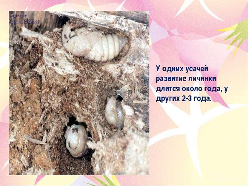 У одних усачей развитие личинки длится около года, у других 2-3 года.