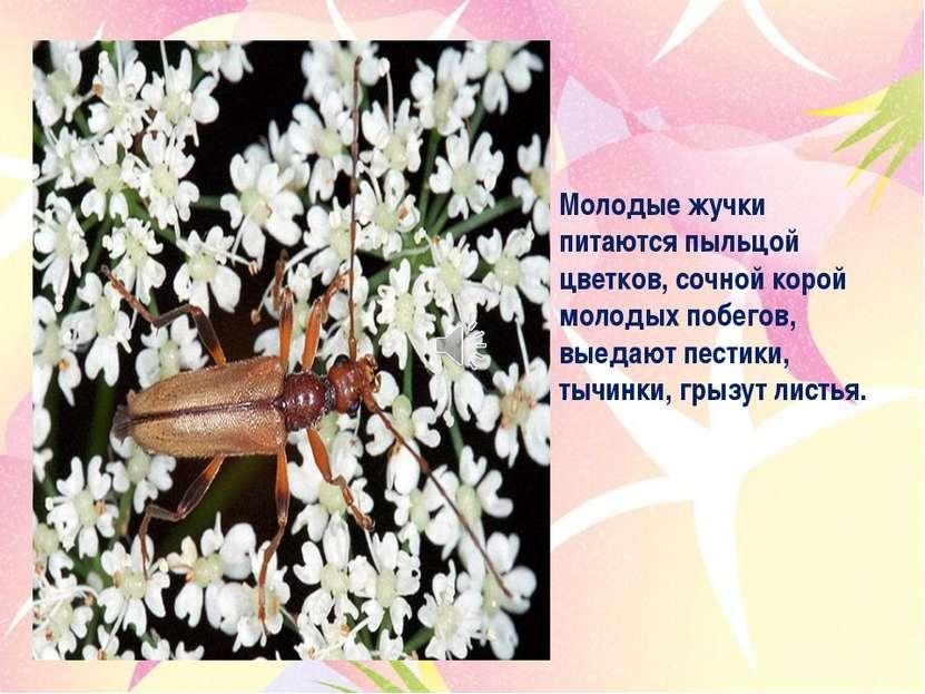 Молодые жучки питаются пыльцой цветков, сочной корой молодых побегов, выедают...