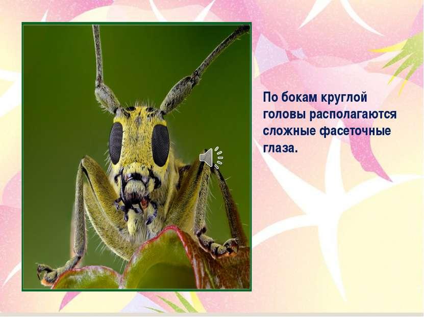 По бокам круглой головы располагаются сложные фасеточные глаза.