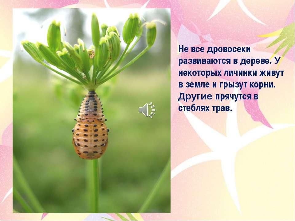 Не все дровосеки развиваются в дереве. У некоторых личинки живут в земле и гр...