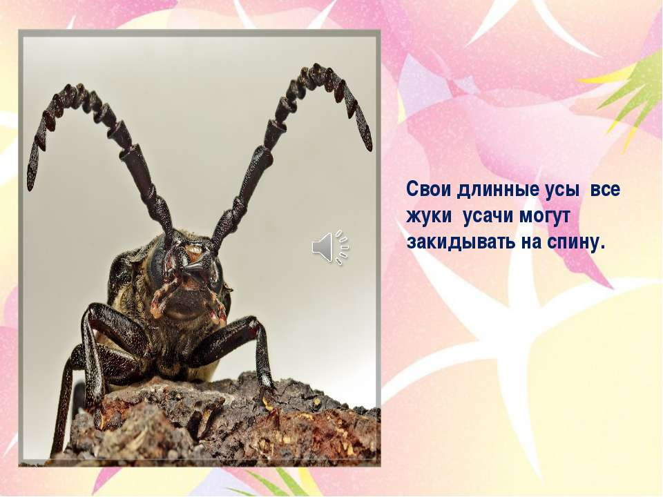 Свои длинные усы все жуки усачи могут закидывать на спину.