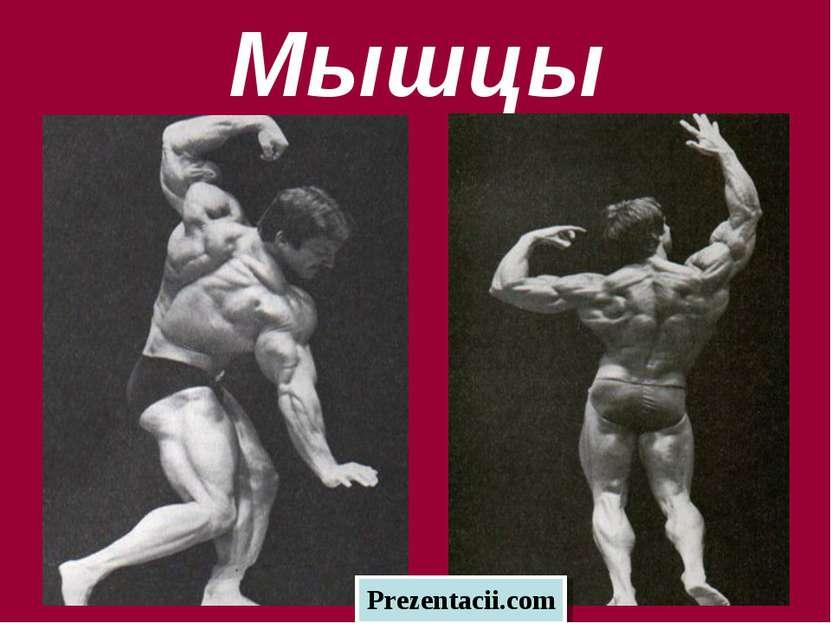 Мышцы Prezentacii.com