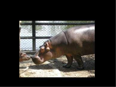 A hippo